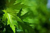 листья mapple на фоне размыто — Стоковое фото