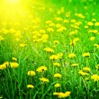 Sunrise on a dandelions field — Stock Photo #5086071