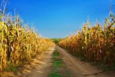 Road on the cornfield — Stock Photo