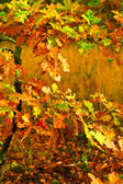 Small autumn oak tree — Stock Photo