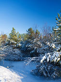Winter pine — Stock Photo