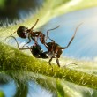 Fight of ants — Foto de Stock