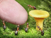 Team of ants guarding chanterelle from human — Stock Photo