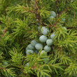 Juniper berries on bush close-up - Stock Photo
