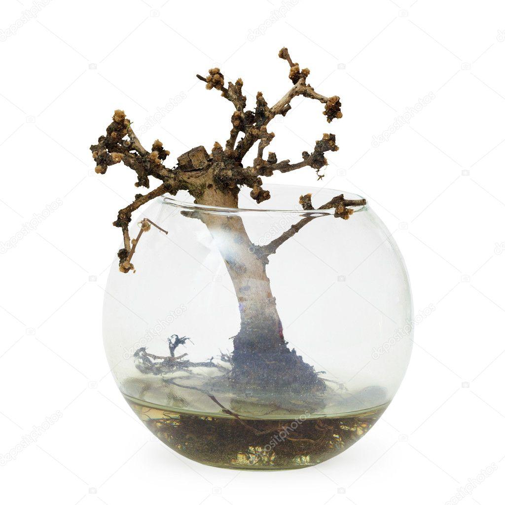 Dead Trees For Sale Failed Bonsai Tree Dead a