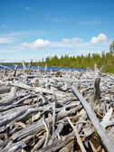 Old dead wood on shore of Lake — Stock Photo