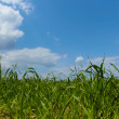 Stock Photo: Green forage grass