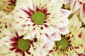 大きな花 - 菊の花の背景 — ストック写真