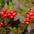 Wild inedible red berries — Stock Photo