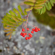 Stock Photo: Fruits of wild red mountain ash