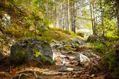 Path in coniferous forest — Stockfoto