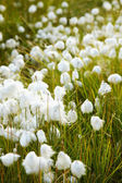 Marsh vegetation - cotton grass — Stock Photo