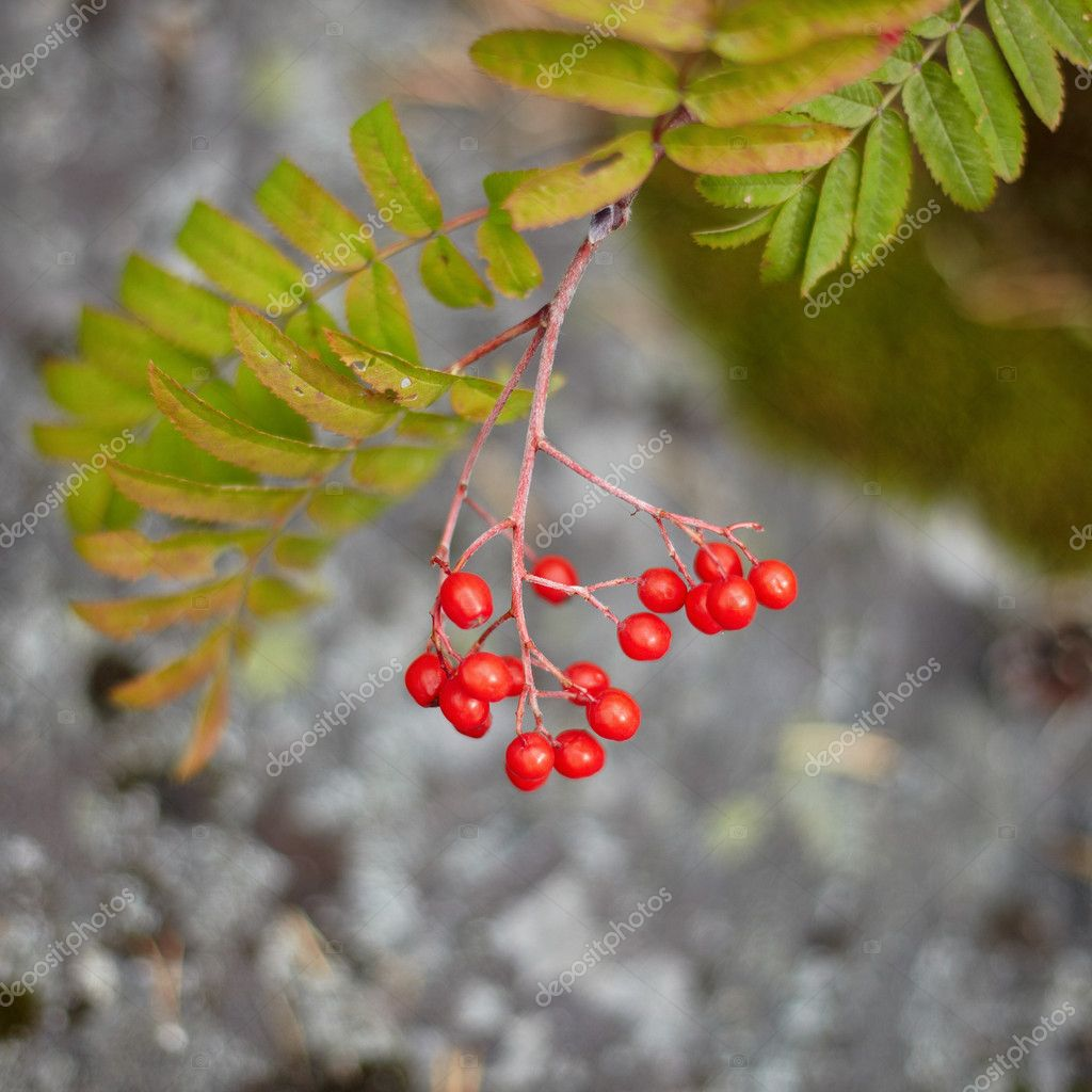 The fruits of the wild red mountain ash in the forest close  Stock Photo #4147267