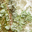 Birch bark with green lichen — Stock Photo