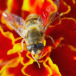 Hoverfly on red flower — Stock Photo
