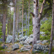 Northern coniferous wood on stony slope of mountain — Stock Photo
