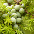 Stock Photo: Green fruit of juniper