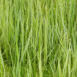 Stock Photo: Green forage grasses - background