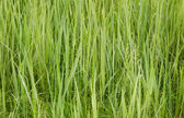 Green forage grasses - background — Stock Photo