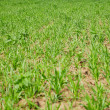 Stock Photo: Forage grasses growing in field