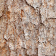 Bark of pine tree - texture — Stock Photo