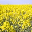 Rape field — Stock Photo #4236269