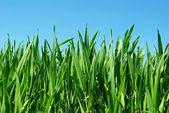 Green lawn — Stock Photo