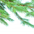 Fir tree branches - Stockfoto