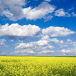 Rape field — Stock Photo #4617765