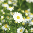Camomile flowers — Stock Photo #4678745