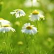 Camomile flowers — Stock Photo #4678747