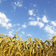 Stockfoto: Wheat ears