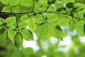 Spring green leaves — Stock Photo