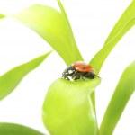 Ladybug — Stock Photo #4710507