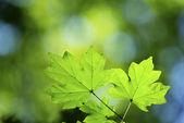 Blätter — Stockfoto