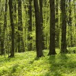 Green forest - Foto de Stock