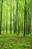 Green fores — Stock Photo