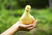 Gosling in hand — Стоковое фото