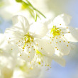 Cherry blossoms — Stock Photo #5141893