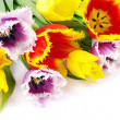 Tulips on white — Stock Photo #5231736