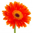Gerbera flower - Stock Photo