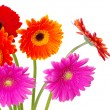 Colorful gerberas flowers — Stock Photo