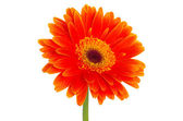 Gerbera flower — Photo