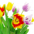 Stock Photo: Tulips on white
