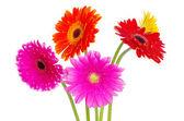 Gerberas flowers — Stock Photo