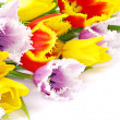 Tulips  on white - Foto Stock