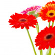 Gerberas on white — Stock Photo