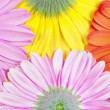 Gerberas background — Stock Photo #5292162