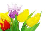 Tulips on white — Stockfoto