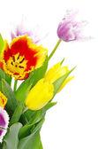 Tulipanes en blanco — Foto de Stock